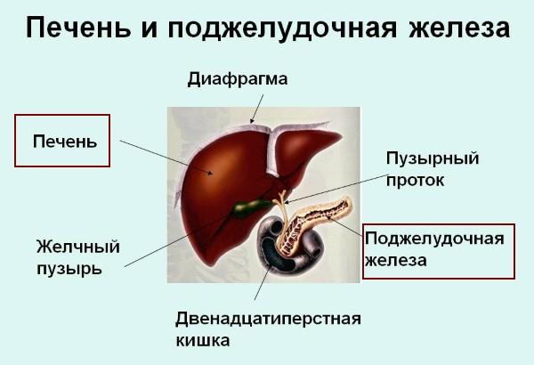 Печень и поджелудочная железа