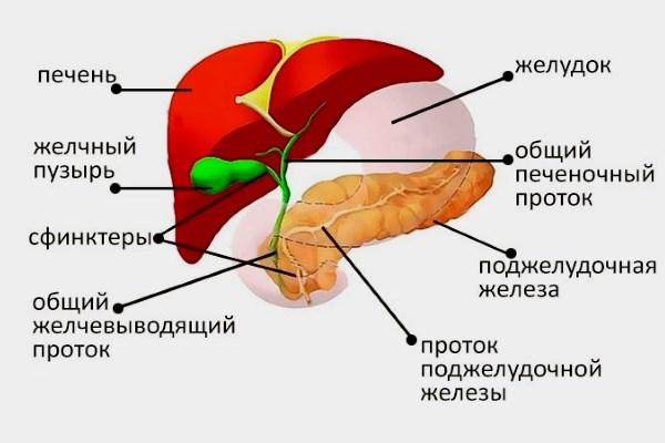 Гепатобилиарная система
