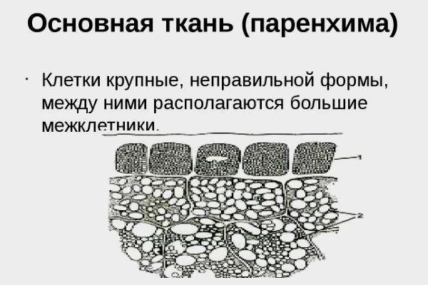 Паренхима органов